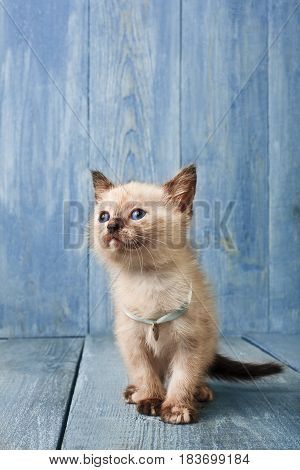 White funny kitten at blue wood background Vertical
