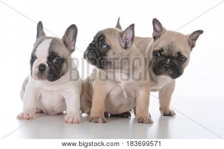 litter of french bulldog puppies on white background