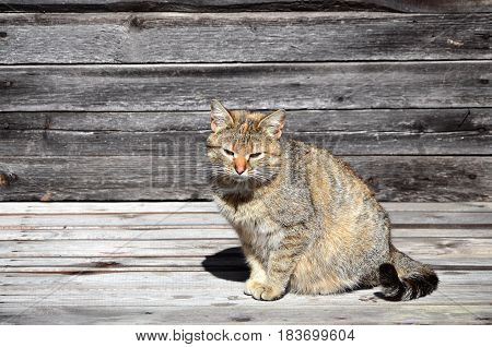 Photo Of A Multi-colored Thick Cat That Lazily Lays On A Wooden Surface