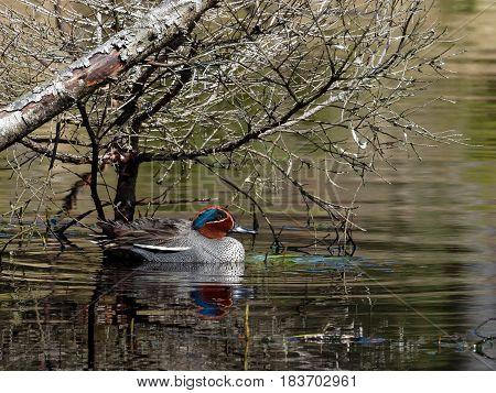 Eurasian Teal in a Danish lake - Anas crecca
