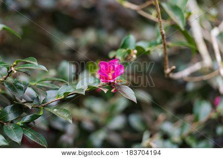 Pink Japanese Camellia flower. Nature floral background