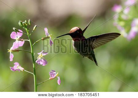 A backlit male Anna's Hummingbird in flight