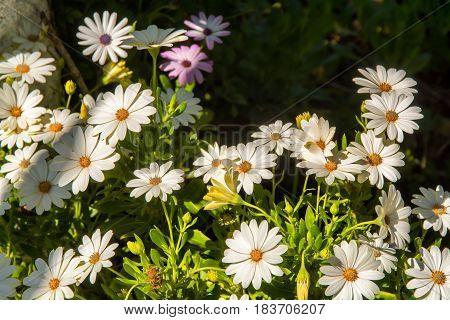 Chrysanthemum segetum daisy white flowers against blury green