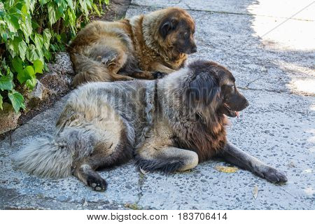 two dogs resting down two serra estrela dog portuguese dogs