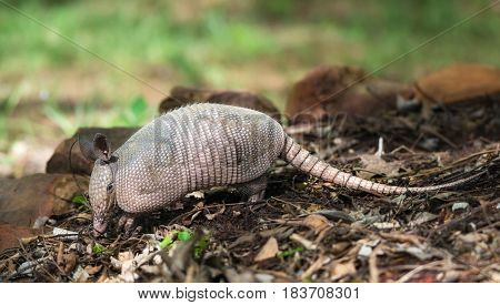 Juvenile Nine-banded Armadillo (Dasypus novemcinctus) digging for food in the garden