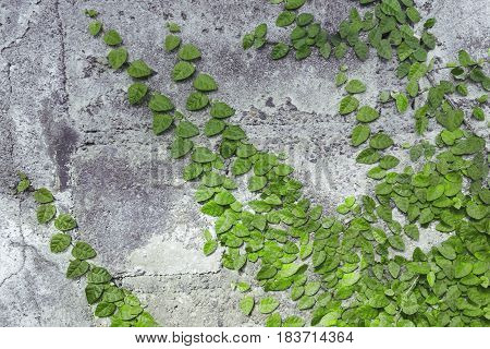 Ancient stone wall covered with green Liana