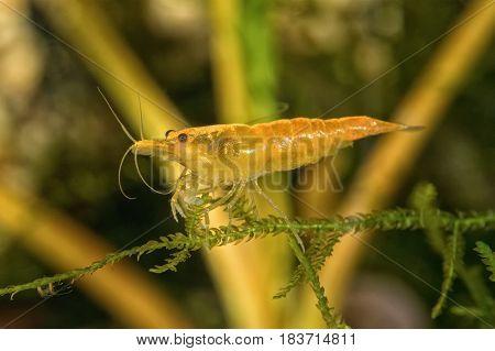 Red freshwater shrimp closeup shot in aquarium (genus Neocaridina)