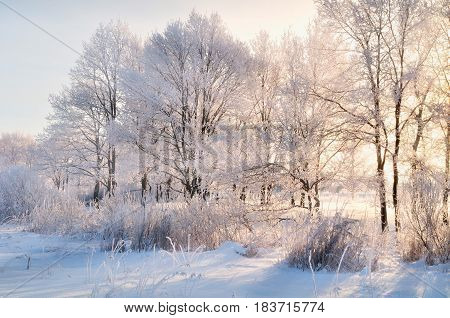 Winter landscape with snowy trees in winter forest in the picturesque winter sunrise. Colorful winter landscape with sunny winter forest trees covered with winter frost. Winter background
