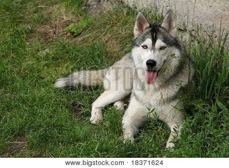 siberian husky lying on the grass poster