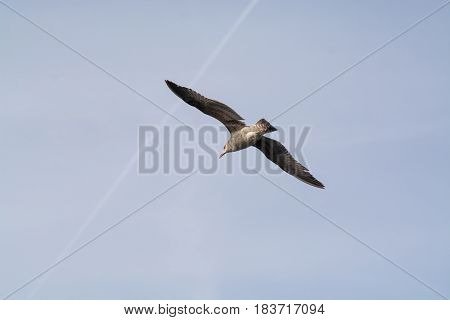 Seagull flying in blue afternoon sky with wings open