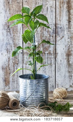 Preparing an urban vegetable garden: bell pepper plant in a tin pot on a wooden table.