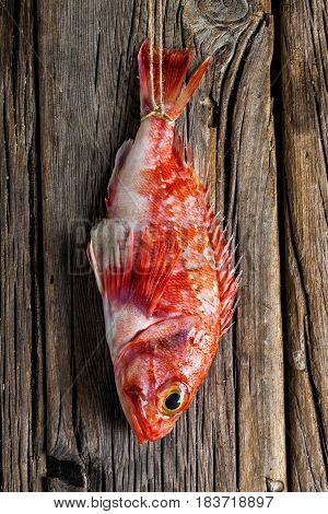 Fresh red scorpionfish hanging on a wooden wall