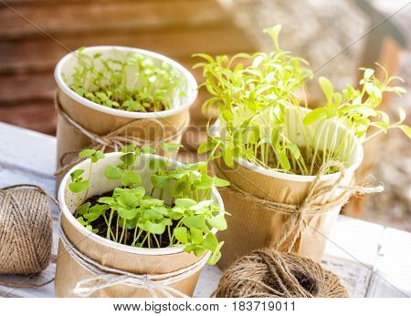 Seedlings of basil coriander and parsley in an urban garden