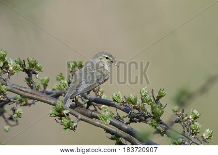 Common chiffchaff sitting on a branch singing