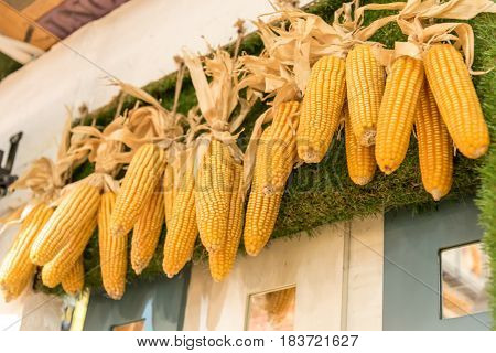 Yellow dry corn stalks hang on the wall with glass background