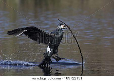 Great cormorant landing in water with a branch in its beak
