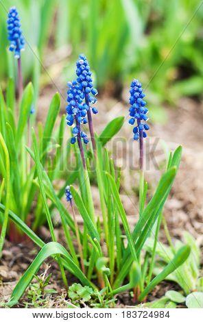 Spring Muscari Flowers