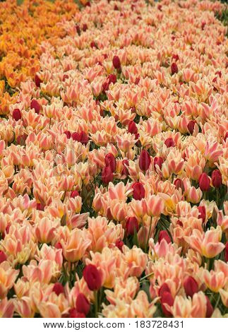 Tulip fields in the Bollenstreek South Holland Netherlands