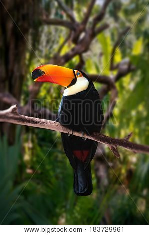 black large Toucan with a big orange glowing nose sitting on a branch in a tropical green forest, among the trees