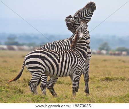 A plains zebra stallion fights a male plains-Grevy's hybrid zebra