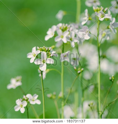 Closeup of meadow cuckooflowers (Cardamine pratensis or lady's smock)