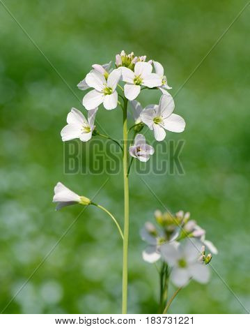 Vertical closeup of a cuckooflower (Cardamine pratensis or lady's smock) against green background with soft bokeh