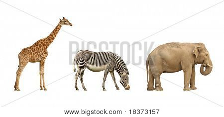 african animals: giraffe, zebra and elephant