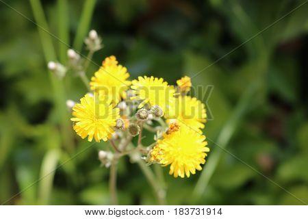 Preciosas flores amarillas del campo de Sevilla