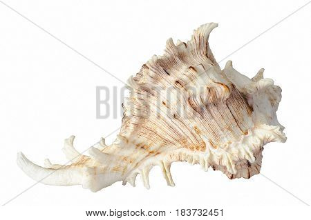 A spiral seashell isolated on white background.