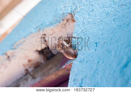cicada molt at bule wall background in sumer