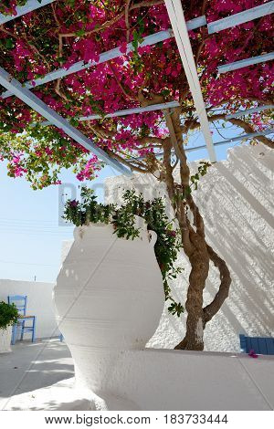 Amphora decoration of hotel in traditional Greek style with Bougainvillea flowers Santorini island Greece