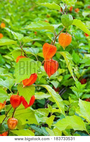 Physalis plants or Chinese Lantern Plants - in Latin Physalis alkekengi- on the branch in the garden. Closeup view of Physalis plant. Natural view of flowering Physalis plant