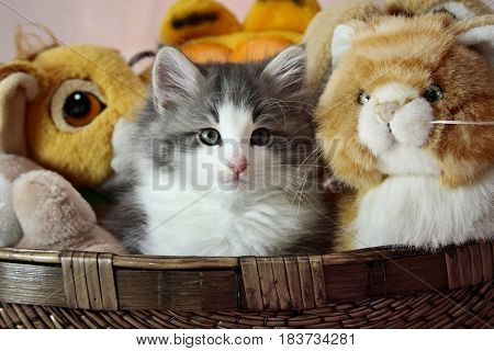 Norwegian forest cat kitten with its friends