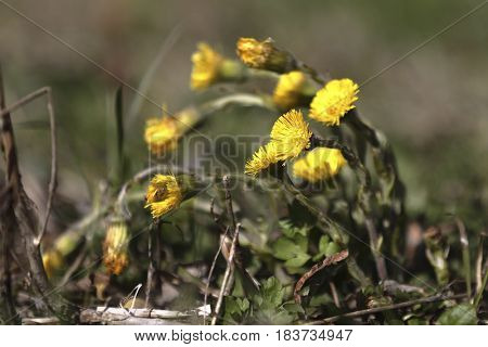 Young dandelion close-up