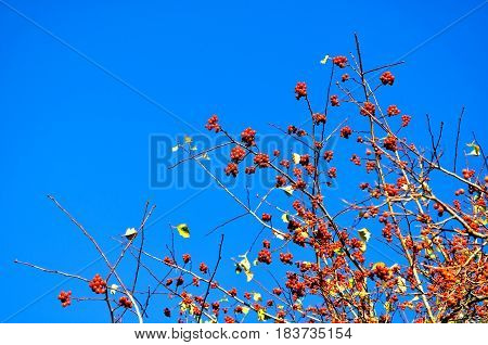 Autumn landscape. Branches of autumn rowan berry tree against blue sky with free space for text. Autumn background in natural tones. Autumn nature view of rowan berry tree - autumn background