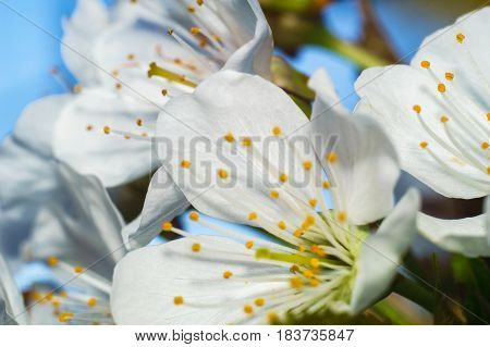 white flower of cherry tree macro photo in sunny day of spring