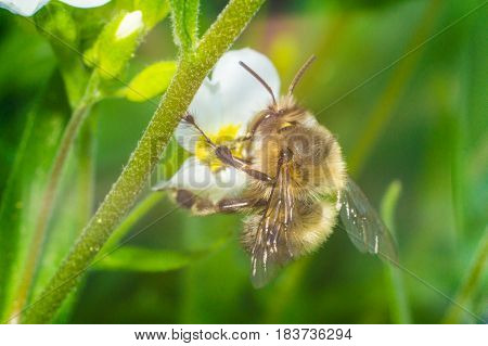 bee on the white flower in sunny day of spring