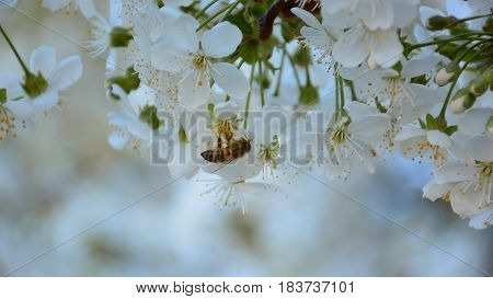 Working bee on the blossoming cherry tree in the fruit garden