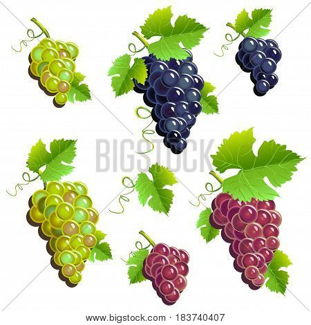Bunches of grapes set. Colored Vector illustration.