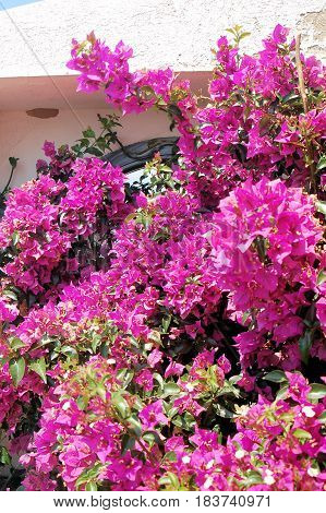 Bright flowers of bougainvillea on white wall background