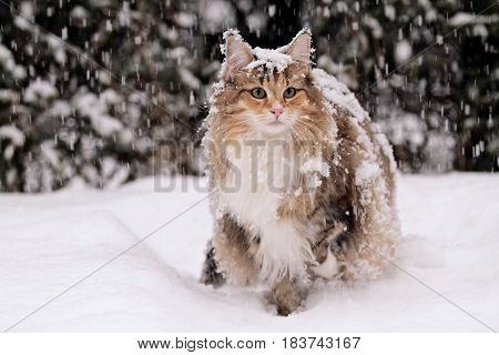 Norwegian forest cat stand in deep snow