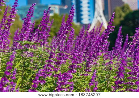 Bright Purple Flowers With Melbourne Cityscape On The Background