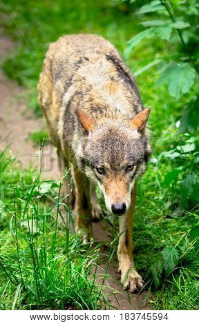 Timber wolf running in forest closeup shot