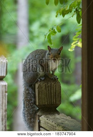Grey squirrel on a weathered post with woods in background looking directly ahead