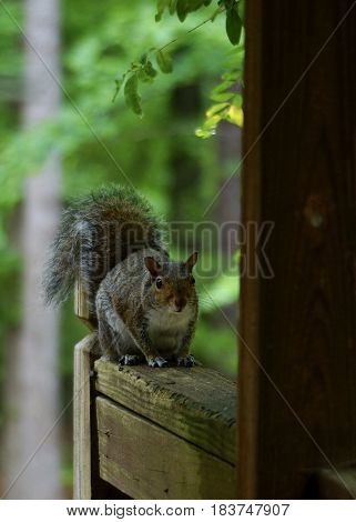 Grey Squirrel posed on a deck railing with woods in background