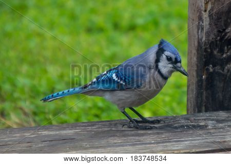 A brightly colored blue jay stands out against the blurred green grass background