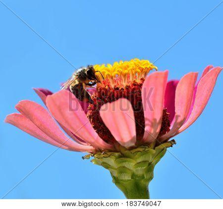 Bee looking pollen on the flower in the field