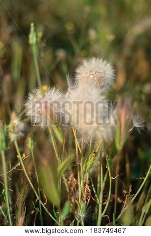 Fluffy dandelions in the meadow. Spring background. Dreamscape.