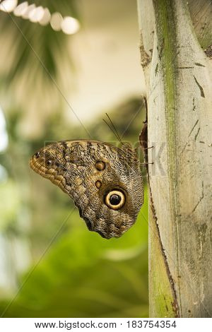 Profile of giant owl butterfly on leaf in sunny garden.