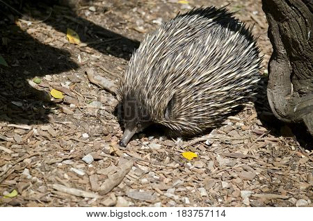 the echidna has a long narrow snout which it pokes around looking for ants